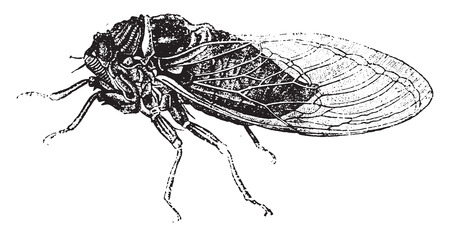 Common cicada, vintage engraved illustration. Natural History of Animals, 1880. Ilustrace