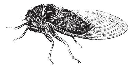 cicada: Common cicada, vintage engraved illustration. Natural History of Animals, 1880. Illustration
