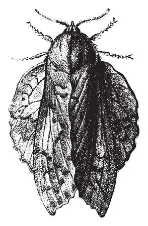 Bombyx oak leaf, vintage engraved illustration. Natural History of Animals, 1880. Illusztráció