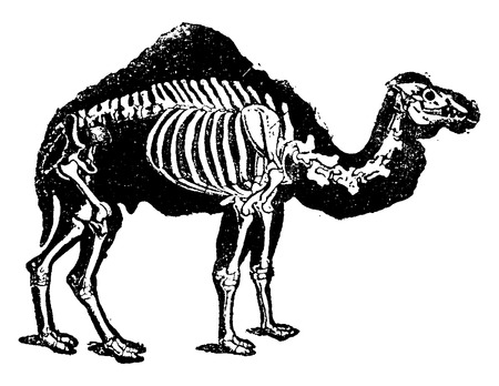 dromedary: Dromedary camel skeleton with profile of the body, vintage engraved illustration. Natural History of Animals, 1880. Illustration