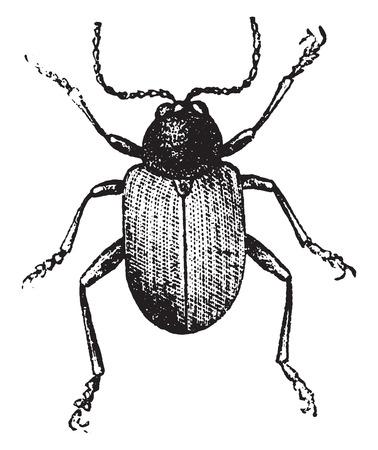 Gusano de la raíz (ampliada), ilustración de la vendimia grabado. Historia Natural de los Animales, 1880. Foto de archivo - 41790188