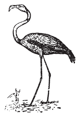 wade: Flamingos or flamingoes, vintage engraved illustration. Natural History of Animals, 1880.