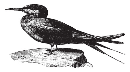 Tern or Sea Swallow, vintage engraved illustration. Natural History of Animals, 1880.