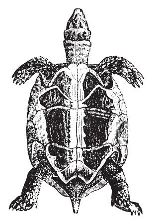 spur: Greek tortoise or spur-thighed tortoise, vintage engraved illustration. Natural History of Animals, 1880.