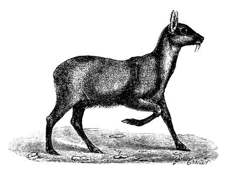 musk: Musk deer, vintage engraved illustration. Natural History of Animals, 1880.