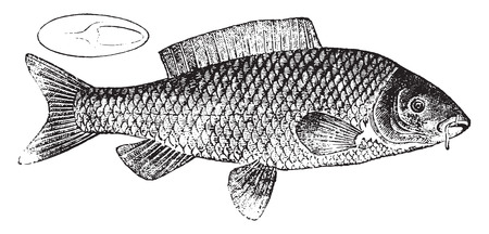 Carp, vintage engraved illustration. Natural History of Animals, 1880.