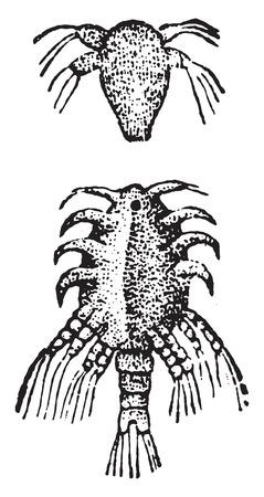 crustacea: Larva of the Lernaea, vintage engraved illustration. Natural History of Animals, 1880.