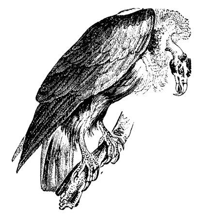 Griffon vulture, vintage engraved illustration. Natural History of Animals, 1880.