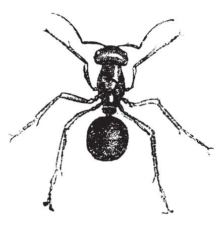 Ant, vintage engraved illustration. Natural History of Animals, 1880. Vettoriali