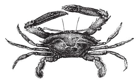 crustacea: Podophthalma, vintage engraved illustration. Natural History of Animals, 1880.
