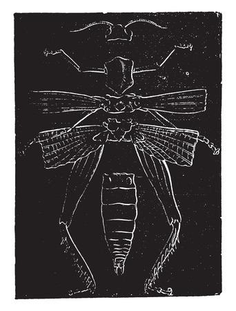 vintage anatomy: Skeletal anatomy of a grasshopper, vintage engraved illustration. Natural History of Animals, 1880.