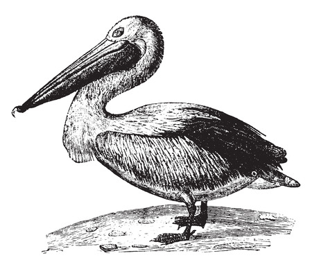 pelican: Pelican, vintage engraved illustration. Natural History of Animals, 1880.