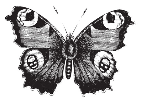 pavo real: Vanessa mariposa pavo real, ilustraci�n de la vendimia grabado. Historia Natural de los Animales, 1880.