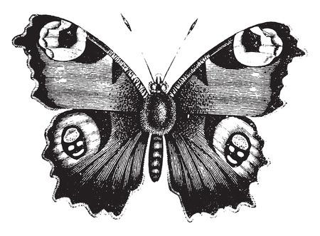 papillon dessin: Vanessa paon, illustration vintage gravé. Histoire naturelle des animaux, 1880.