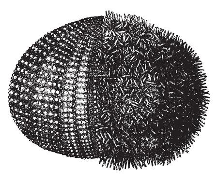 sea urchin: Sea urchin or urchins, vintage engraved illustration. Natural History of Animals, 1880. Illustration