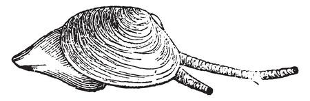 Telline, vintage engraved illustration. Natural History of Animals, 1880.