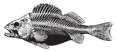 물고기 뼈대, 빈티지 새겨진 그림. 동물의 자연사, 1880.