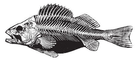 Fish skeleton, vintage engraved illustration. Natural History of Animals, 1880.