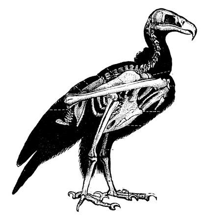esqueleto: Esqueleto Buitre, ilustración de la vendimia grabado. Historia Natural de los Animales, 1880.