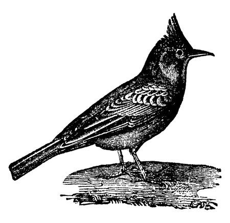 passerine: Larks, vintage engraved illustration. Natural History of Animals, 1880. Illustration