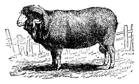 Merino sheep, vintage engraved illustration. Natural History of Animals, 1880.