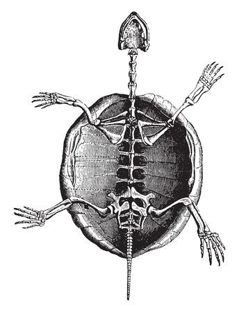 esqueleto: Esqueleto de la tortuga, ilustración de la vendimia grabado. Historia Natural de los Animales, 1880.