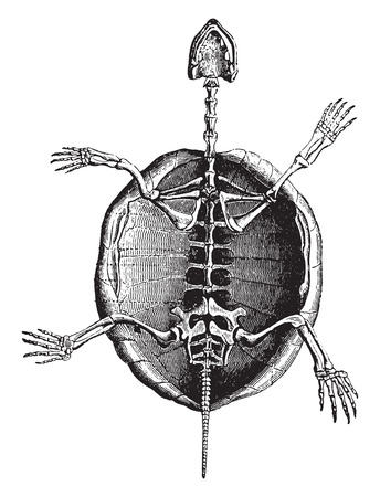 Turtle skeleton, vintage engraved illustration. Natural History of Animals, 1880. Illustration