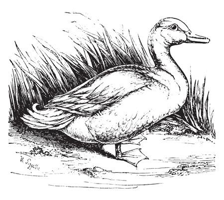 pato: Pato doméstico, ilustración de la vendimia grabado. Historia Natural de los Animales, 1880. Vectores