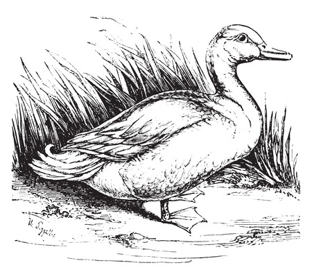 Domestic duck, vintage engraved illustration. Natural History of Animals, 1880. Illustration