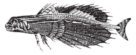 flying fish: Dactyloptere, vintage engraved illustration. Natural History of Animals, 1880.