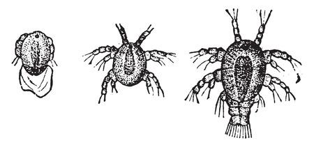 cyclops: Larva Cyclops, vintage engraved illustration. Natural History of Animals, 1880.