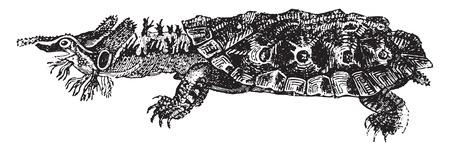herpetology: Matamata or mata mata or mata-mata, vintage engraved illustration. Natural History of Animals, 1880.