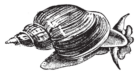 slug: Slug ponds (snail), vintage engraved illustration. Natural History of Animals, 1880. Illustration