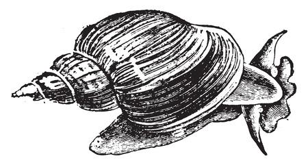 Slug ponds (snail), vintage engraved illustration. Natural History of Animals, 1880. Çizim