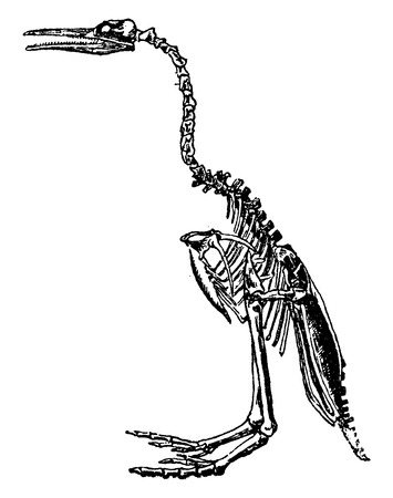 flightless: Hesperornis skeleton, vintage engraved illustration. Natural History of Animals, 1880.