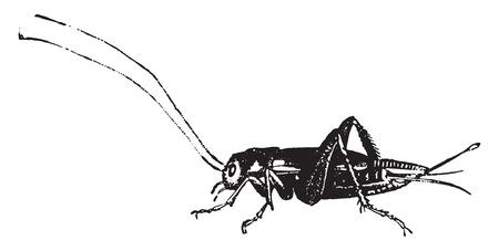 Domestic cricket, vintage engraved illustration. Natural History of Animals, 1880. Фото со стока - 41790370