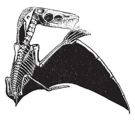 Pterodactyl, vintage engraved illustration. Natural History of Animals, 1880. Ilustração