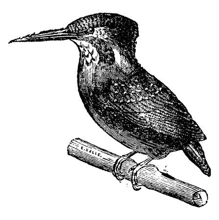 coraciiformes: Kingfisher, vintage engraved illustration. Natural History of Animals, 1880.