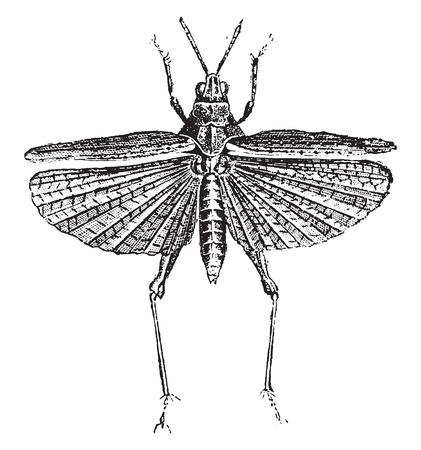caelifera: Grasshopper, vintage engraved illustration. Natural History of Animals, 1880.