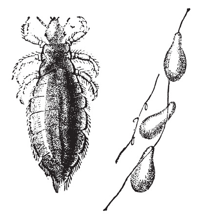 head louse: Louse and nits, vintage engraved illustration. Natural History of Animals, 1880.