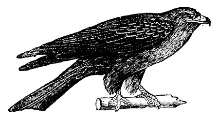 Common kite, vintage engraved illustration. Natural History of Animals, 1880.