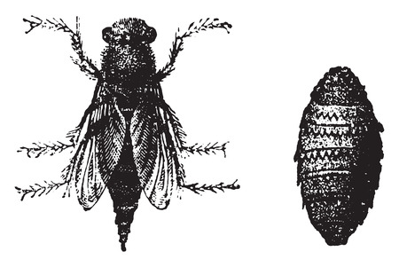 warble: Botfly, vintage engraved illustration. Natural History of Animals, 1880.