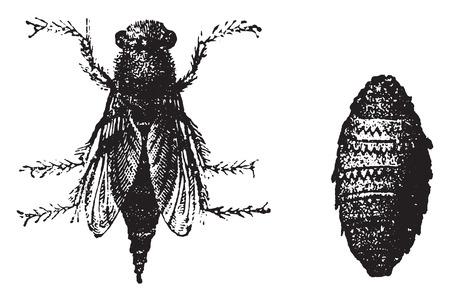 bot: Botfly, vintage engraved illustration. Natural History of Animals, 1880.