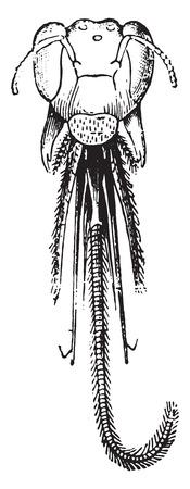 entomology: Head Anthophora, vintage engraved illustration. Natural History of Animals, 1880.