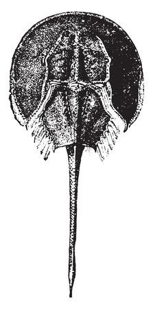 horseshoe vintage: Horseshoe crab, vintage engraved illustration. Natural History of Animals, 1880.