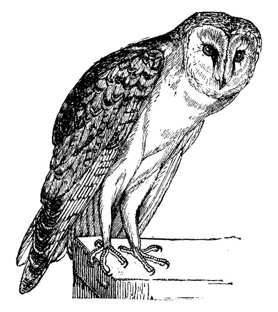 etchings: Owl, vintage engraved illustration. Natural History of Animals, 1880.