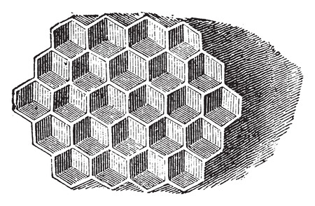 vintage drawing: Cells seen from the front, vintage engraved illustration. Natural History of Animals, 1880.