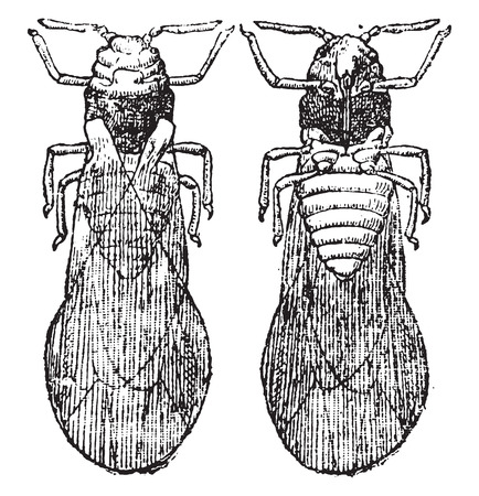 entomology: Phylloxera wing, vintage engraved illustration. Natural History of Animals, 1880.