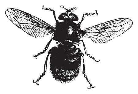 entomology: Volucelle, vintage engraved illustration. Natural History of Animals, 1880.