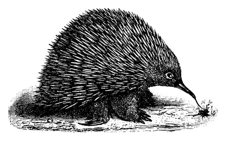 echidna: Echidna or spiny anteaters, vintage engraved illustration. Natural History of Animals, 1880.